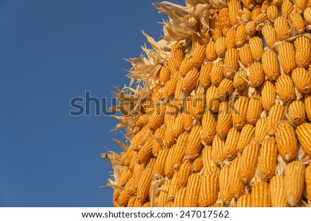 ripe corn on blue sky and agricultural field - stock photo