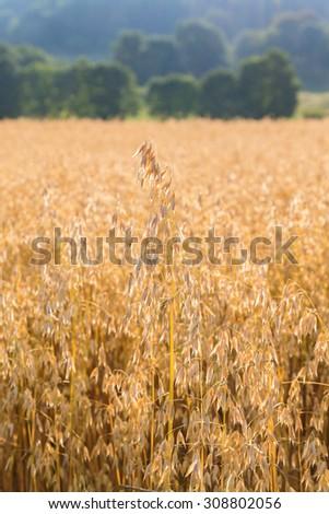 Ripe cornfield in rural areas - stock photo