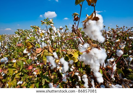Ripe Cotton Bolls On Branch Ready For Harvests - stock photo