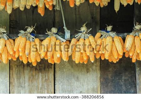 Ripe dried corn cobs hanging,corn seeds make it dry. - stock photo