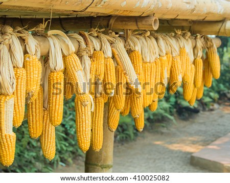Ripe Dried Corn Cobs Hanging off Bamboo Beam on Blurry Background - stock photo