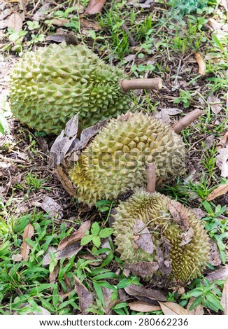 Ripe durian on the ground of organic farm. - stock photo