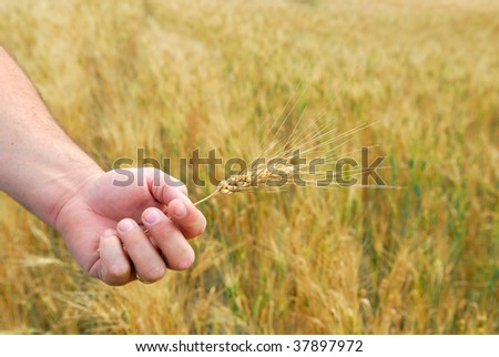 Ripe Durum Wheat in Farmers hand
