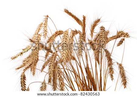 Ripe ear of wheat ears isolated on white background - stock photo