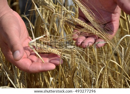 Ripe ears of barley grain are filled with the palms of farmer