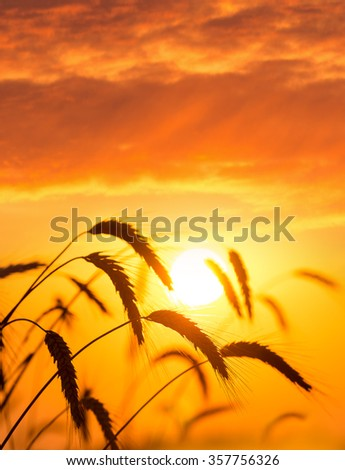 Ripe ears of wheat against the backdrop of the sunset sky - stock photo
