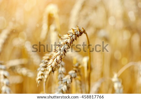 Ripe ears wheat. Close-up