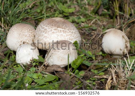 Ripe Field mushroom on the Meadow, Agaricus campestris - stock photo