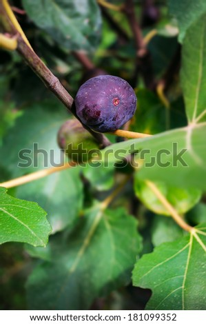 Ripe fig fruit on the tree attached to the branch.