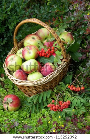 Ripe fresh apples in the basket on the nature