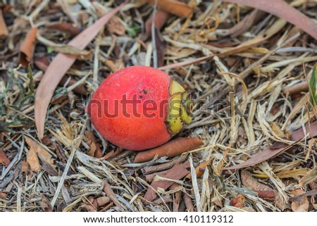 Ripe fruit of the betel palm - stock photo