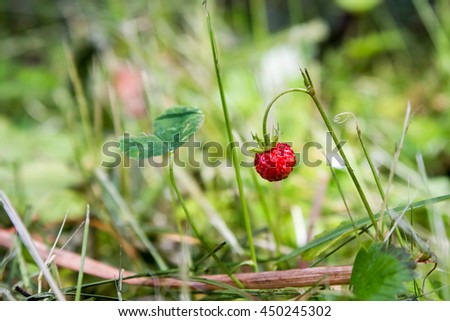 Ripe fruit of wild strawberry on a bush - stock photo