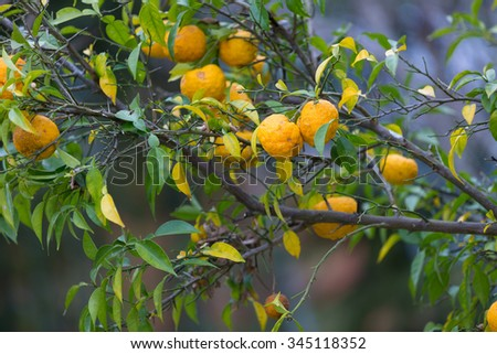 Ripe fruits of Yuzu, famous for aromatic zest.  Yuzu is a hybrid between Citrus ichangensis and Citrus reticulata.