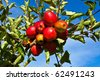 ripe fruity apples hanging at the tree - stock photo