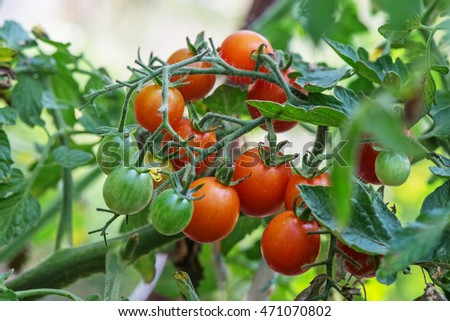 Ripe garden tomatoes ready for picking. Ripe tomatoes natural