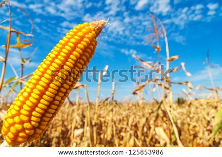 ripe golden maize over field - stock photo