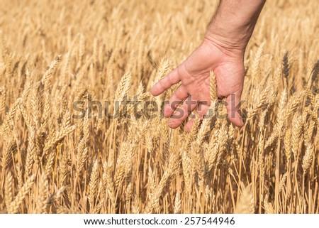 Ripe golden wheat ears in her hand the farmer - stock photo