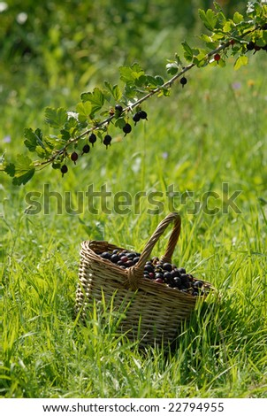 ripe gooseberries in the basket and branch with berries - stock photo