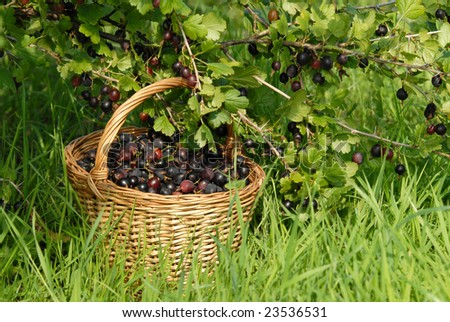 ripe gooseberries in the basket near the bush - stock photo