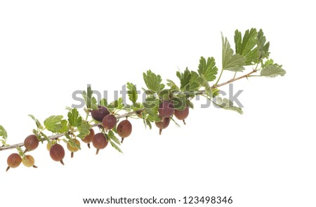 ripe gooseberry on branch on white background