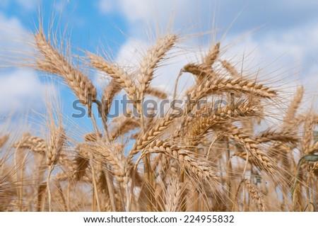 Ripe grain ears on a cloudy blue sky background - stock photo