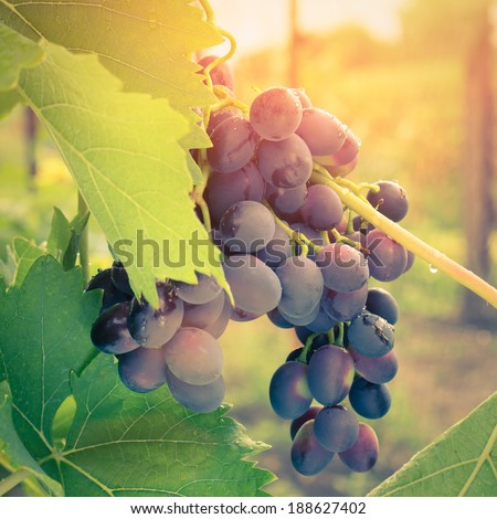 Ripe Grape on vine in sunrise light. Toned image - stock photo