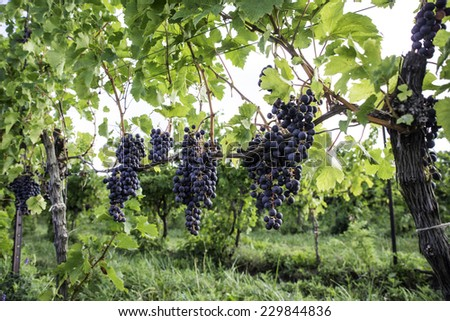 Ripe Grapes Hanging on Vine (selective focus) - stock photo