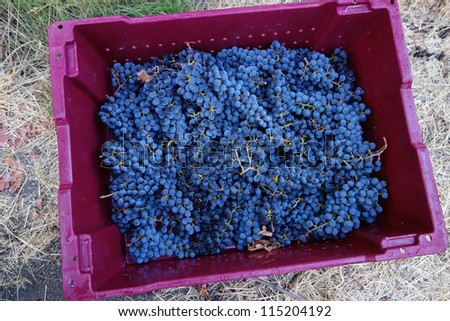 Ripe grapes just picked from the vines - stock photo