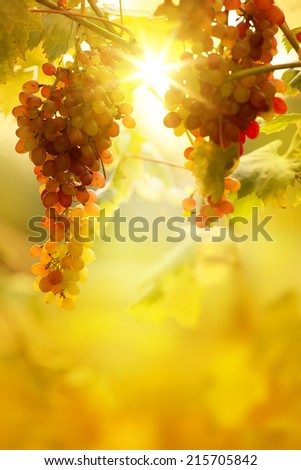 Ripe grapes on a vine with bright sun background. Vineyard harvest season.  - stock photo