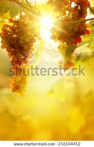 Ripe grapes on a vine with bright sun background. Vineyard harvest season.  - stock photo