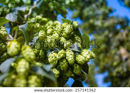 Ripe green hop cones branch taken closeup.Beer production. - stock photo