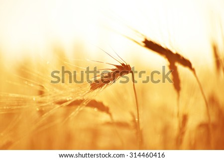 Ripe Hard Red Wheat in the Morning Sunlight - stock photo