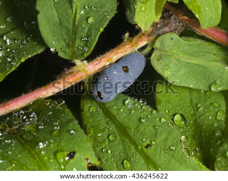 Ripe honeysuckle berry and leaves on branch with raindrops, macro, selective focus, shallow DOF - stock photo