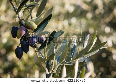 ripe Kalamata olives on olive tree branch growing in olive grove - stock photo