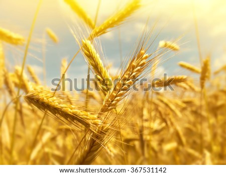 Ripe large ears of wheat close up