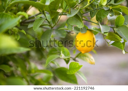 Ripe lemon on a tree in California