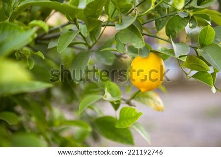 Ripe lemon on a tree in California - stock photo