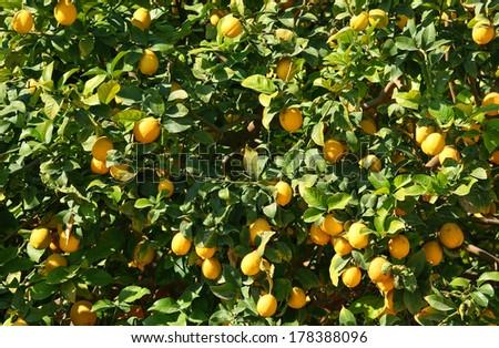 Ripe lemon tree on citron plantation background - stock photo
