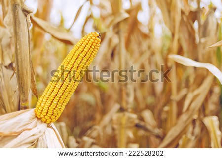 Ripe maize on the cob in cultivated agricultural corn field ready for harvest picking