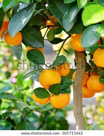 Ripe mandarins on a tree branch.  - stock photo