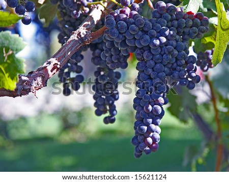 Ripe Merlot Grapes on Vine in Vineyard - stock photo