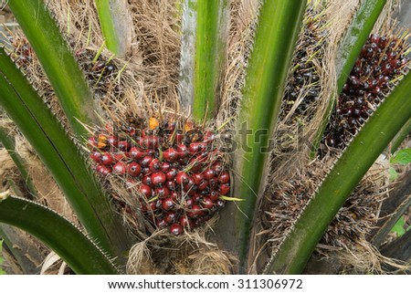Ripe of  Palm Oil Fruits - stock photo
