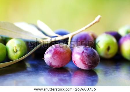 Ripe Olives in olive tree branch  - stock photo