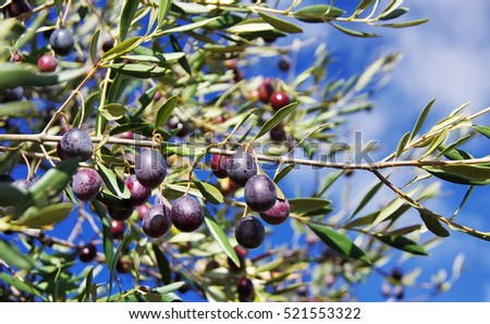 ripe olives on the branch of an olive tree