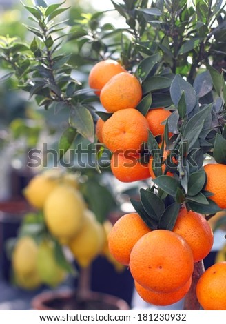 Ripe orange tangerines and lemons from Sicily in the background - stock photo