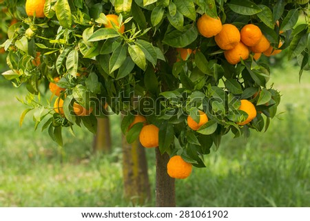 ripe oranges growing on tree - stock photo