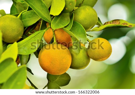 Ripe oranges hanging on a tree and nature background - stock photo
