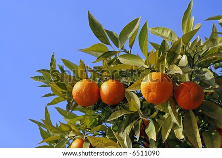 Ripe Oranges On A Tree - stock photo