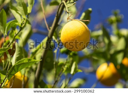 ripe oranges on a tree branch in the garden