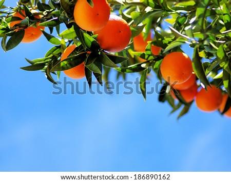 Ripe oranges on blue sky - stock photo